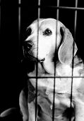 Beagle Behind Bars