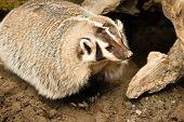 North American Short Legged Badger Wild Animal Mustelidae Family