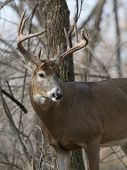 foto of antlers  - A Large antlered Whitetail Deer on a cold autumn day - JPG