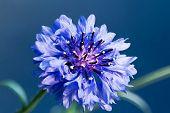 Cornflower (centaurea Bachelor Button)