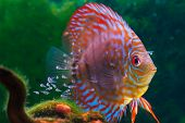 stock photo of freshwater fish  - Baby discus fish swimming in freshwater - JPG