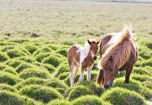 Icelandic horse with her colt. Iceland, Europe.