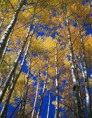 Céu azul de folhas amarelas