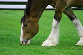 stock photo of clydesdale  - clydesdale horse grazing on grass - JPG