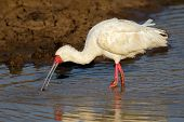 African spoonbill (Platalea alba) foraging in shallow water, South Africa