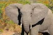 African elephant (Loxodonta africana) with large flapping ears, South Africa