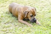 stock photo of bull-mastiff  - A young beautiful gray medium sized Cane Corso dog with uncropped ears sitting on the grass - JPG