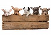 Vintage wooden crate filled with five newborn chihuahua puppies