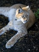 Northern lynx luxuriates in the rays of a sun