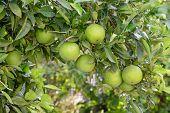 Grapefruits Ripening On The Tree.
