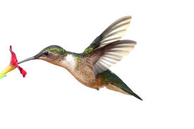 image of hummingbirds  - Male Ruby-throated Hummingbird (archilochus colubris) in flight isolated on a white background ** Note: Slight blurriness, best at smaller sizes - JPG