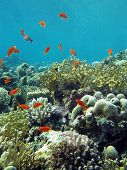 coral reef with fire corals and exotic fishes anthias at the bottom of tropical sea on blue water ba
