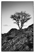 Ghaf tree in the mountain - B & W image
