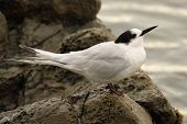 pic of tern  - A White - JPG