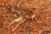 Deer Eaten By Gray Fox
