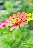 Close Up Zinnia Flower In The Garden