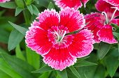 Dianthus Chinensis (china Pink)
