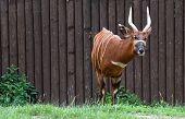 Bongo Antelope (tragelaphus Euryceros)