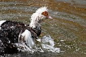 Muscovy Ducks (carina Moschata)