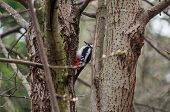 foto of woodpecker  - Woodpecker in the trees - JPG