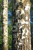 trunks of birch trees closeup