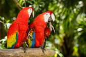 Portrait Of ..portrait Of Scarlet Macaw Parrots