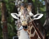picture of long tongue  - A Zoo Giraffe Sticks Out its Very Long Tongue - JPG