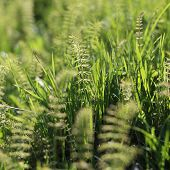 image of horsetail  - Green horsetail close - JPG