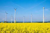 Yellow rapeseed field and windwheels
