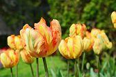 Yellow Parrot Tulip Closeup