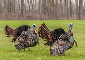 picture of mating  - Wild turkey strutting for a mate in the spring mating season - JPG
