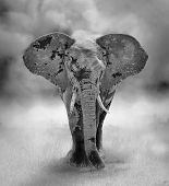 foto of elephant ear  - Large Elephant Bull Approaching  - JPG