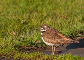 picture of killdeer  - Killdeer standing on the ground in the grass - JPG