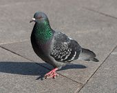 Pigeon Walking On Sidewalk