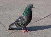 Pigeon Standing On  Sidewalk