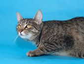 picture of yellow tabby  - Tabby cat with yellow eyes sneaks up on a blue background - JPG