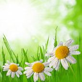 Dewy green grass with daisies