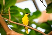 cute yellow  canary on branch