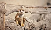 funny portrait of Meerkat