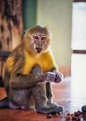 Capuchin Monkey sitting on a floor and eating