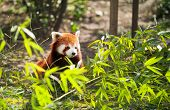 lesser panda in bamboo leaves