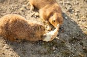 Pair of black-tailed dog eat