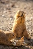 Cute beaver eating, full lenght