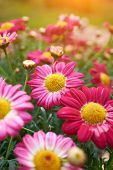 stock photo of belly-button  - Daisy flower  - JPG