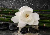 spa concept �¢�?�?gardenia flower with thin bamboo grove