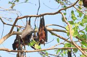 stock photo of genital  - Flying Fox upside down on the tree - JPG