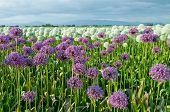 Field of Allium Flowers Foot of Mountain