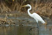 Great White Egret Wading Slowly Through The Mangroves