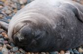 Baby Seal Sleeping In Patagonia