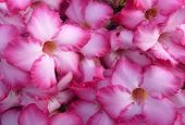 picture of desert-rose  - Pink Flower Adenium obesum tree Desert Rose Impala Lily - JPG